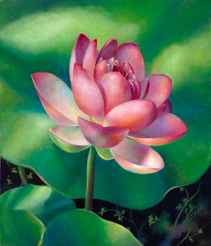 pink-lotus-water-lily-nancy-tilles