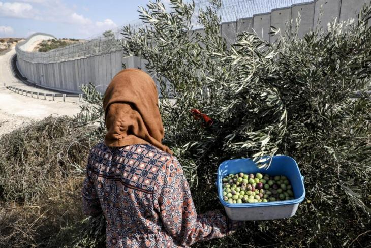 Palestinians harvest olives from their lands which currently lie on the Israeli side of the controversial separation barrier (background) near the West Bank village of Dura on October 30, 2019, AFP_0